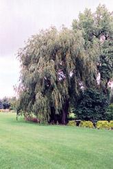 17 Salix babylonica, Weeping Willow