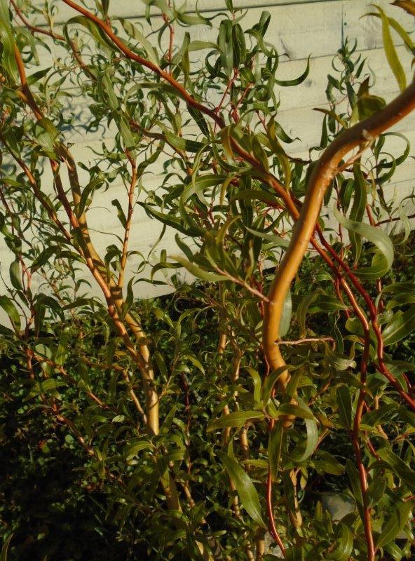 18 Salix matsudana, Curly Crooked Corkscrew Willow Jocelyn DSC02325