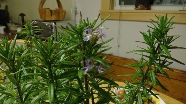 19 Rosmarinus officinalis, Rosemary, Hes's
