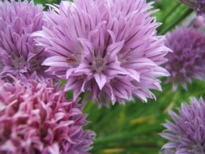 25 Chives 029