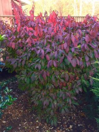 6 Euonymus alatus, Burning Bush - Jen Eppell smaller