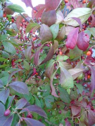 6 Euonymus alatus, Burning Bush Jocelyn DSC02332