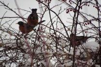 Robins in the Barberry