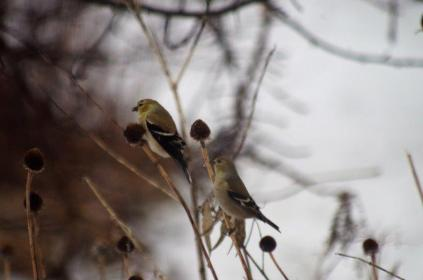 American Goldfinch in the Rudbeckia