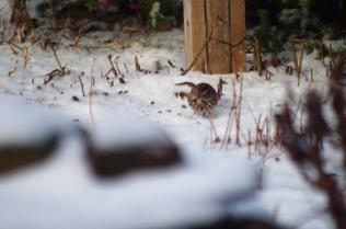 This is a song sparrow... listen