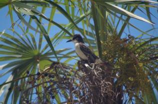 Loggerhead kingbird IMGP7150