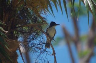 Loggerhead kingbird IMGP7153