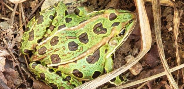 Myra's Pickerel Frog