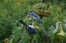 The sunflowers dip to dry and the Blue Jaysgather to store and feast