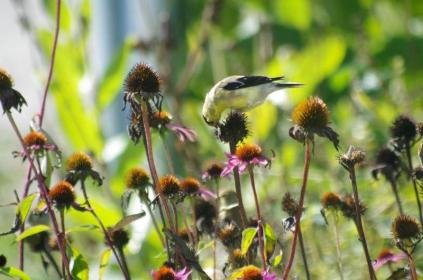 Echinace purpureaa ( Purple Cone Flower ) seed heads are a treat for this Americam Goldfinch.