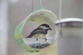 The chickadee shares this feeder.