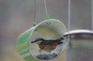 A little extra help for this nuthatch