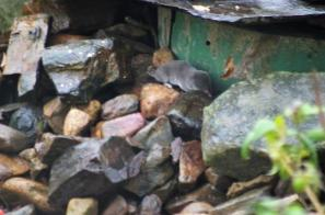 Oh MY Another distraction... a little Vole