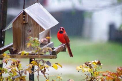 This male Cardinal has a look around