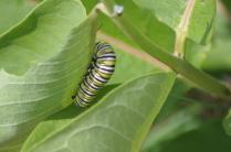 Monarch Larve feasting on Common Milkweed