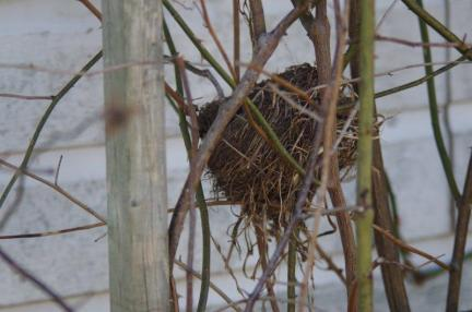 Nest low in the rambler roses.