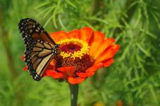 Zinnia and Monarch