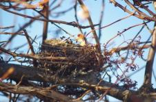 The Climing Hydrangia hid this nest in the old apple tree.