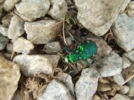 Tiger Beetle - Cicindela ( Good Bug)