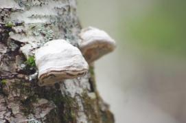 Fomes fomentarius (commonly known as the tinder fungus, false tinder fungus, hoof fungus