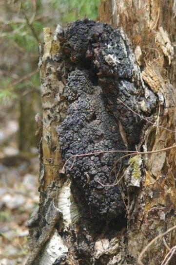Inonotus obliquus, commonly known as chaga